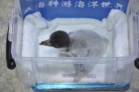 New born penguin